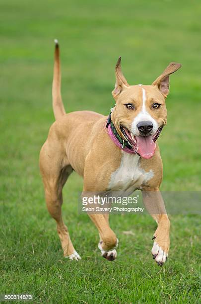 inbound - american pit bull terrier stock pictures, royalty-free photos & images