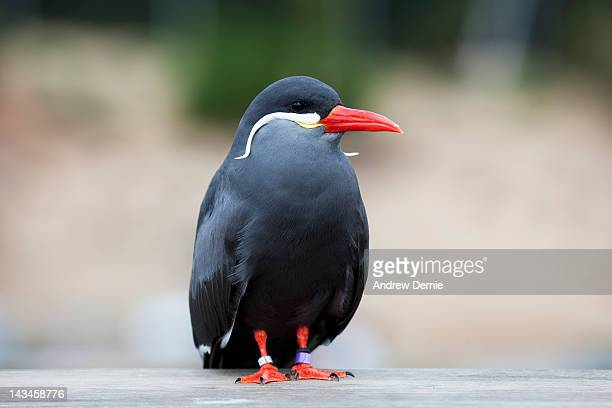 inca tern - andrew dernie stock pictures, royalty-free photos & images