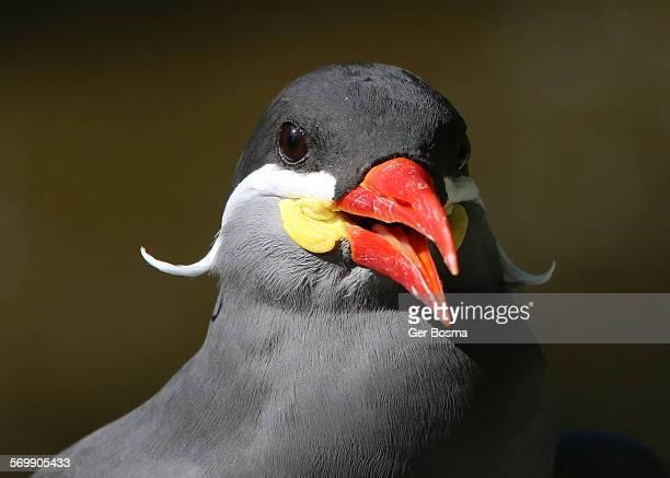 Inca Tern Poser