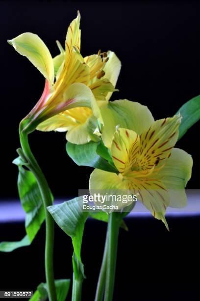 incas lily flower bouquet (alstroemeria aurea) - bouquet de muguet fotografías e imágenes de stock