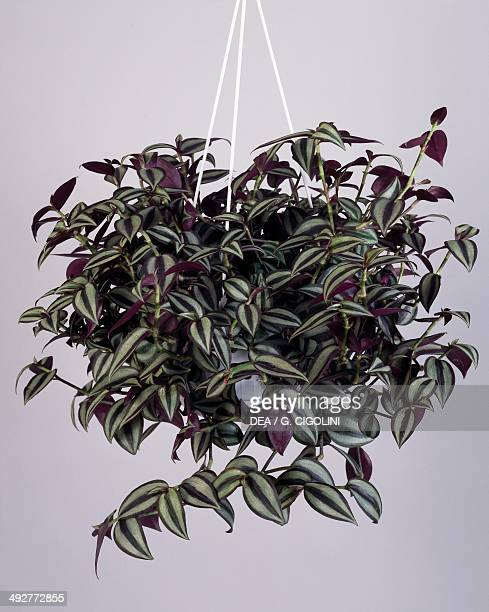Inch plant or wandering jew Commelinaceae