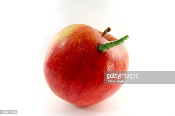 Inchworm emerging from ripe apple