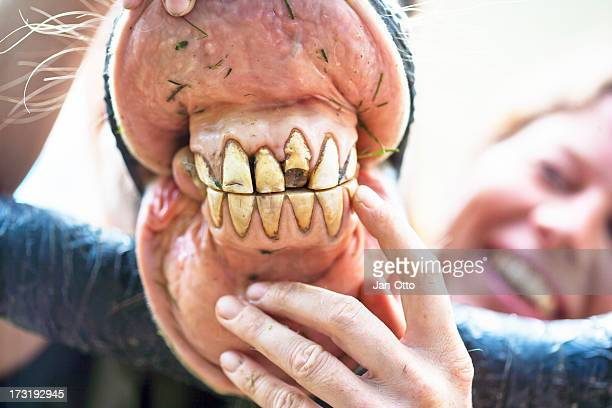incisors of a horse - horse teeth stock photos and pictures