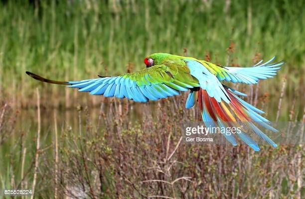 Incoming Military Macaw (Ara militaris)