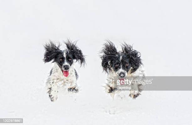 incoming! - cocker spaniel stock pictures, royalty-free photos & images