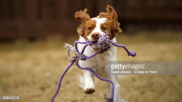 incoming with rope - brittany spaniel stock pictures, royalty-free photos & images