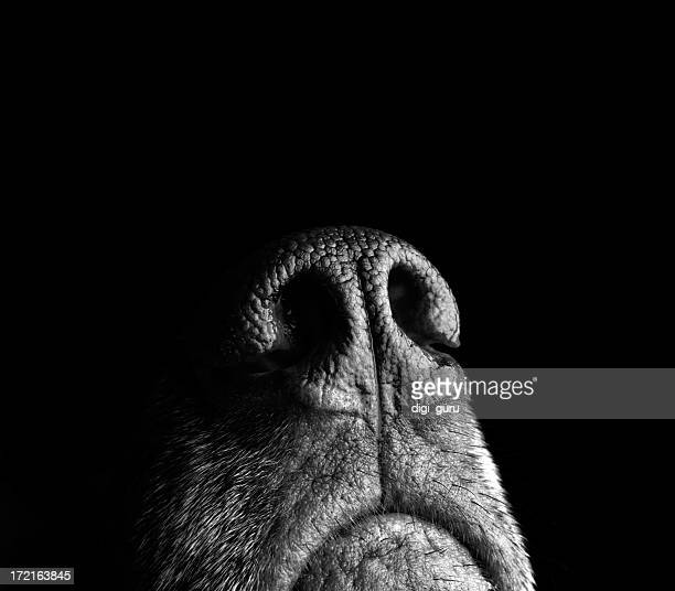 incredibly sensitive nose of a dog - german shorthaired pointer stock pictures, royalty-free photos & images