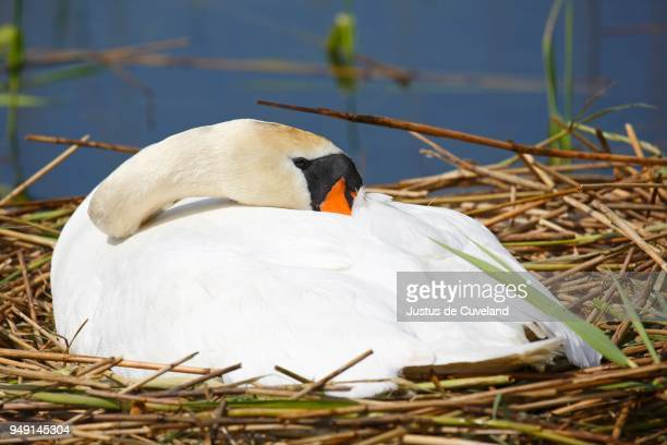 Incubating Mute swan (Cygnus olor) rests on nest, head in plumage, Schleswig-Holstein, Germany