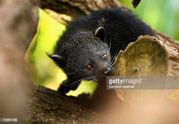 'Indah' the eight week old female binturong cub explores her enclosure for the first time at the 'Wild Asia' exhibit at Taronga Zoo May 30 2007 in...