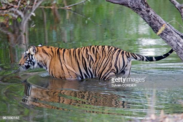 Inde Madhya Pradesh Parc national de Bandhavgarh tigre du Bengale