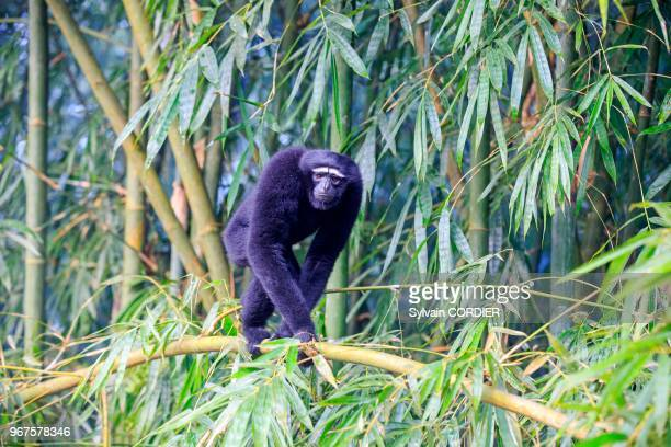 Inde Tripura Gumti Sanctuaire de la vie sauvage Gibbon hoolock occidental mâle adulte India Tripura state Gumti wildlife sanctuary Western hoolock...
