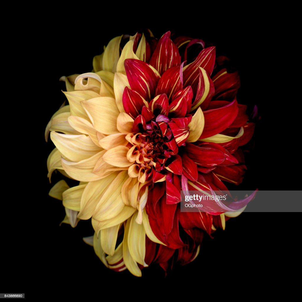 Indecision - Yellow and Red Dahlia : Stock Photo