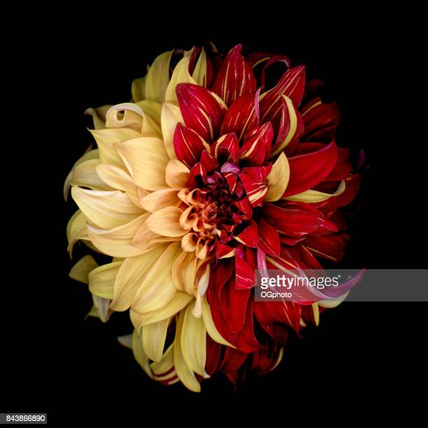 Indecision - Yellow and Red Dahlia