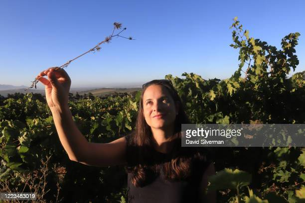 Independent South African winemaker Stephanie Wiid, who co-founded the Thistle and Weed winery in 2015, holds up a Knapsekerel weed that thrives in...