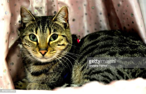 India a Bengal cat attends the National Pet Show at The NEC Arena on November 4 2017 in Birmingham England