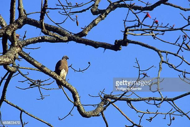 India Assam Kaziranga Np Greyheaded Fish Eagle