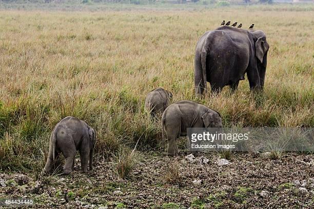 India Assam State Kaziranga National Park Elephant And 3 Babies