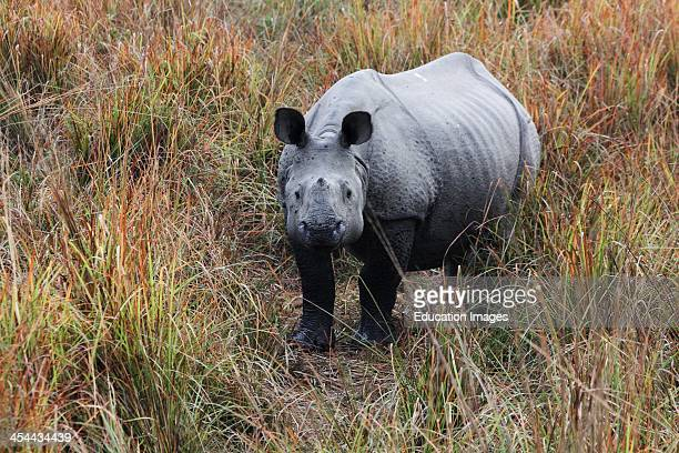 India Assam State Kaziranga National Park Great OneHorned Rhinoceros