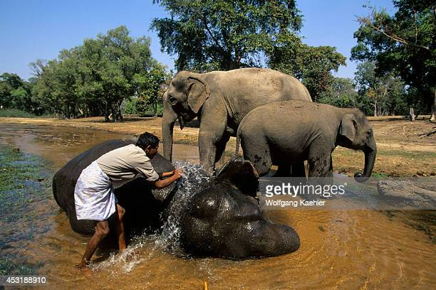 India Bandhavgarh National Park Asian Elephants Being Bathed By Mahout
