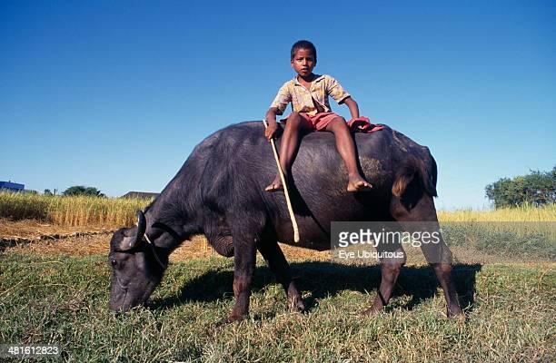 India Bihar Ganges Plain Young boy sitting on grazing water buffalo