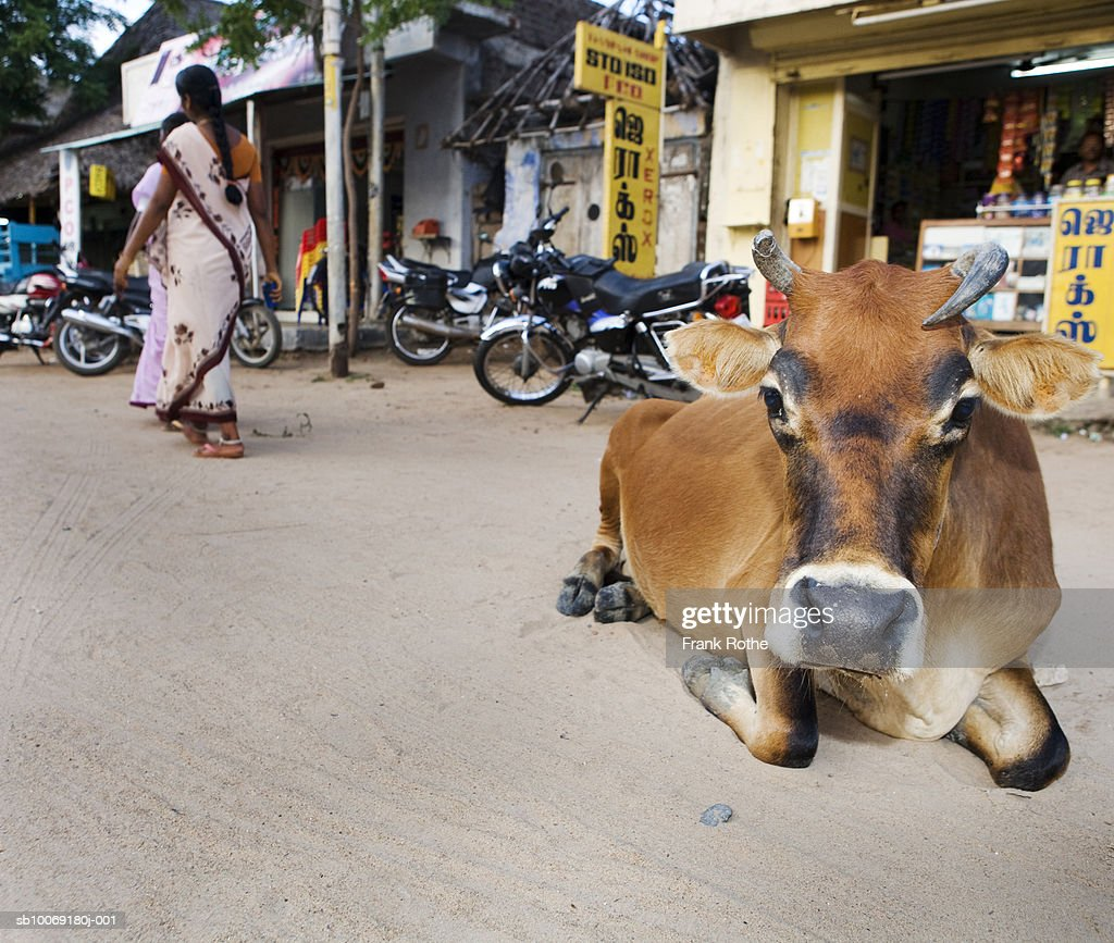 India, Cow resting on road : Stockfoto