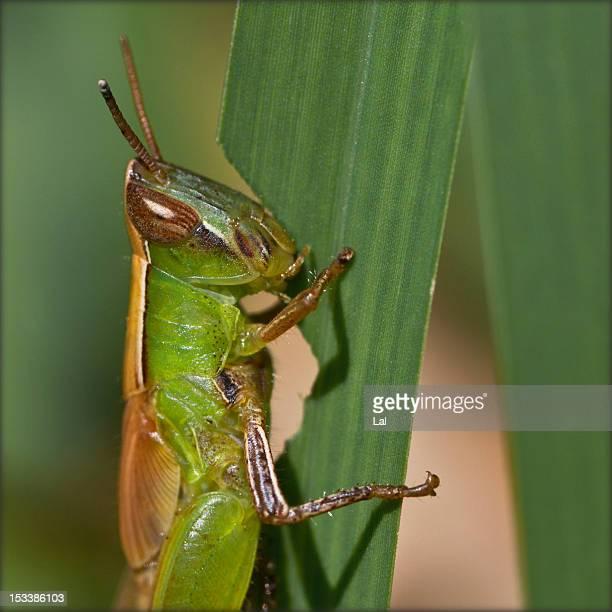 India. Grasshopper eating