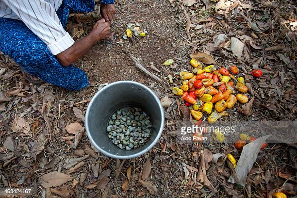 India, Kannur, cashews harvesting
