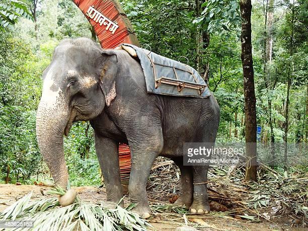 India, Kerala, Munnar, View of Tamed Elephant