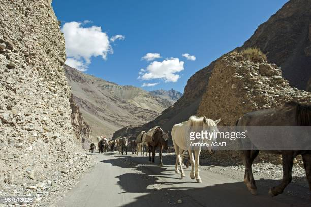 India Ladakh Markha Valley horses walking in the Himalayas