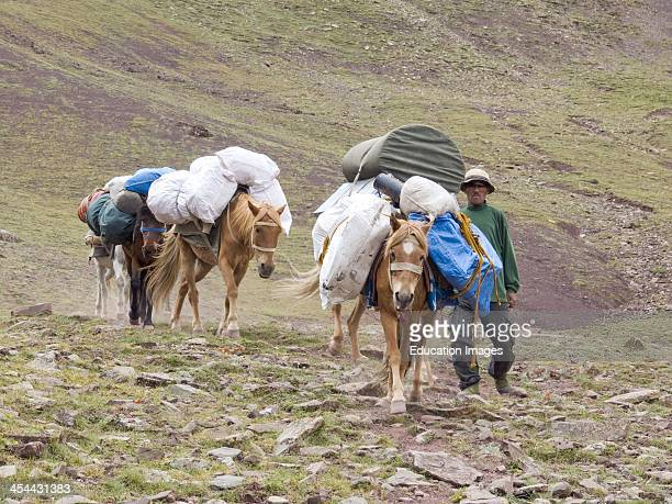 India Ladakh Region Of Jammu And Kashmir State High Altitude Trek From Shangla Base Camp Up To Shangla Pass At 4880 Meters Altitude Donkeys Bringing...