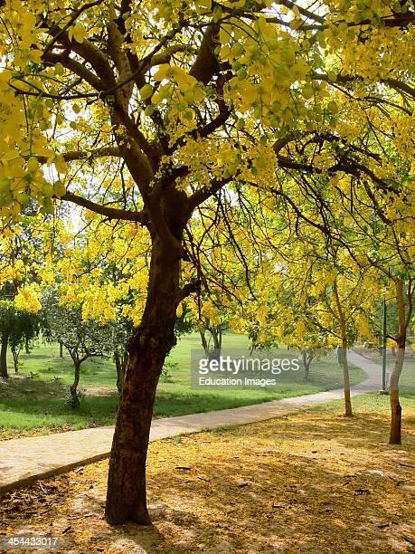 India New Delhi Nehru Park Laburnum trees in bloom