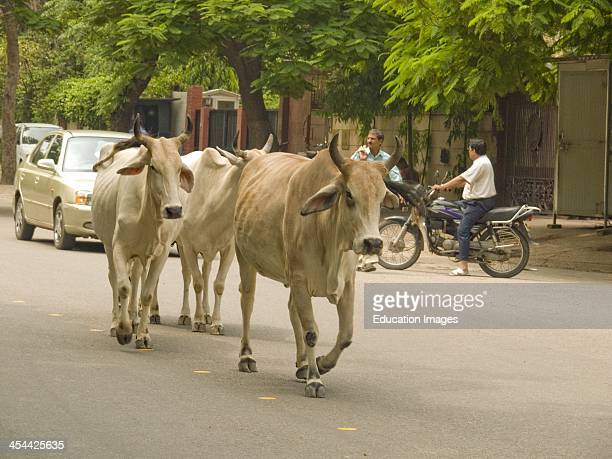 India New Delhi Upmarket Suburb Of Vasant Vihar Cows In Street