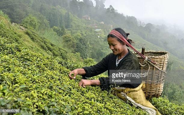 DARJEELING India Photo shows a worker picking tea in Darjeeling India on Nov 1 2013
