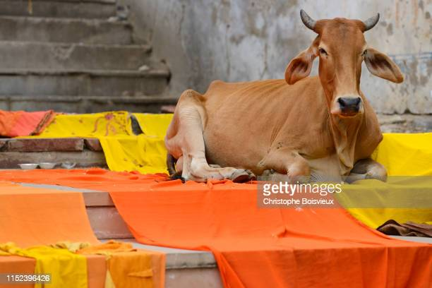 india, rajasthan, pushkar, the ghats, drying saris and holy cow - pushkar stock pictures, royalty-free photos & images