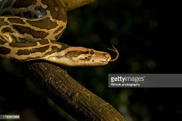 india rock python - indian python stock pictures, royalty-free photos & images