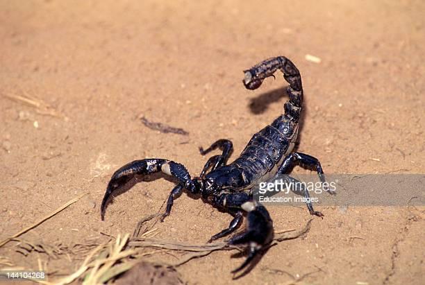 India Scorpion Nagarhole National Park Karnataka