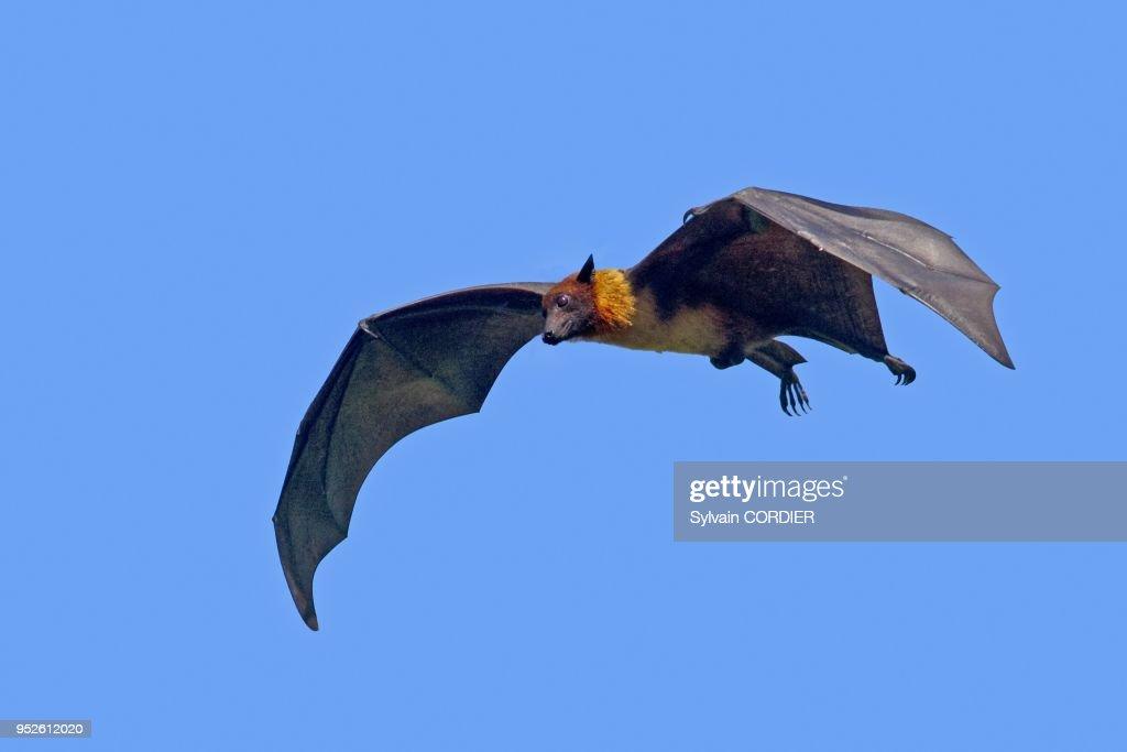 INDIAN FLYING FOX : News Photo