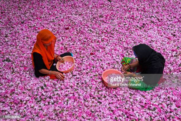 india, uttar pradesh, the city of perfumes, roses collecting - uttar pradesh stock pictures, royalty-free photos & images