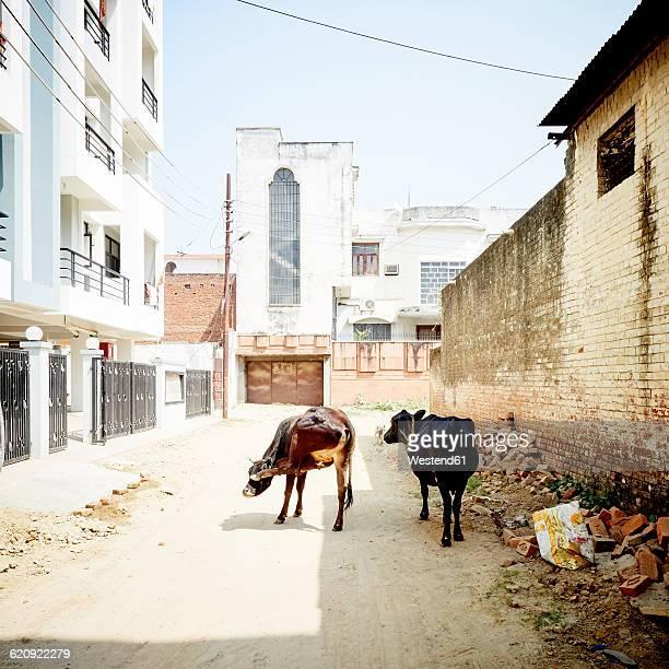 India, Uttar Pradesh, Varanasi, cows on street