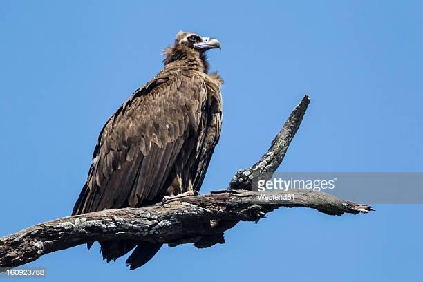 India, Uttarakhand, Vulture perching on branch at Jim Corbett National Park