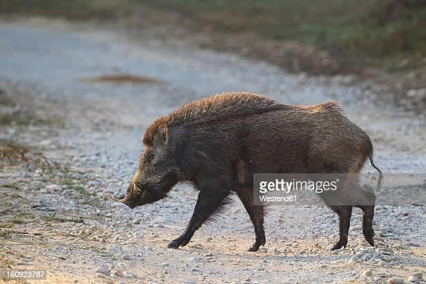 India, Uttarakhand, Wild boar at Jim Corbett National Park