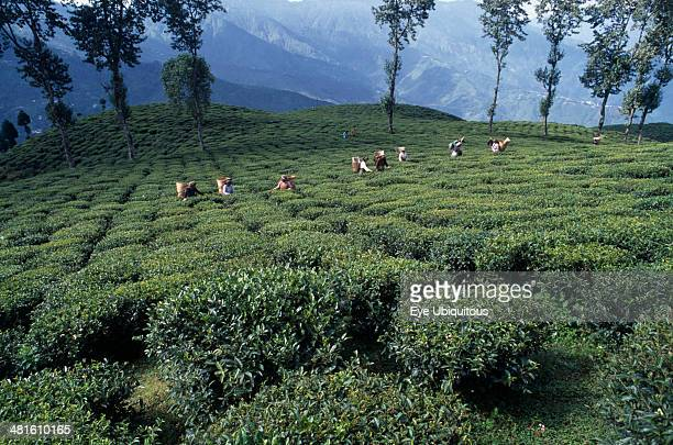 India West Bengal Darjeeling Tea pickers working on hilltop plantation putting picked leaves in woven baskets carried on their backs