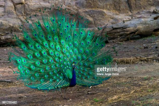 india, wild peacock in rajasthan - peacock stock pictures, royalty-free photos & images