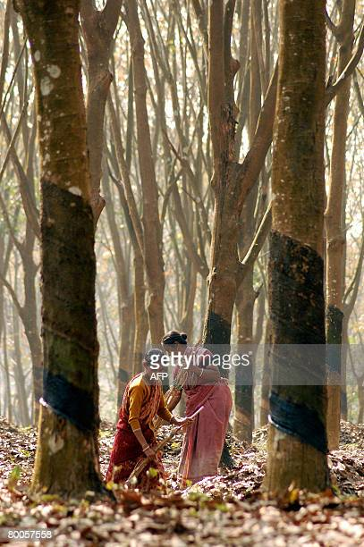 India women work in a rubber plantation during the early hours of work in Taltala 30 kms east of Agartala capital of Indian northeastern state...
