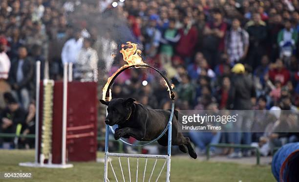 Indian Army dog showcases its skills during a performance in public in the wake of Indian Army Day at Central Park Connaught Place on January 10 2016...
