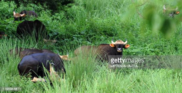 Indian bison stand in a grassland area of The Jaldapara Wild Life Sanctuary some 130kms from Siliguri on July 5 2009 The area located at the...
