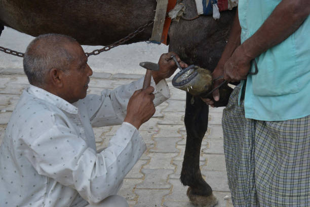 Indian blacksmith Raj Kumar fits a horseshoe onto a horse`s hoof on a roadside in Amritsar on May 15 2017 Horsedrawn vehicles are a common sight on...