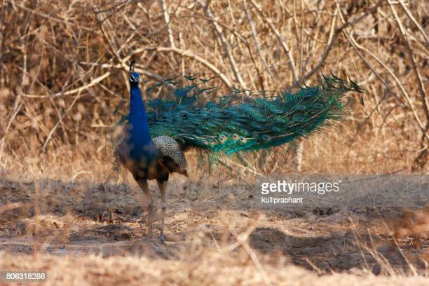 Indian Blue Peacock in Bandipur National Park