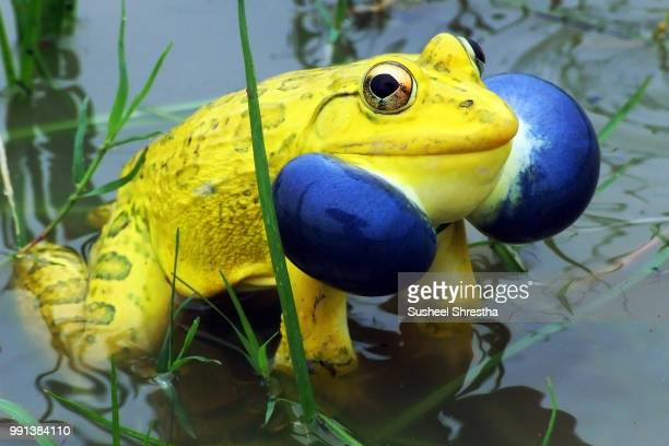 indian bull frog - bullfrog stock pictures, royalty-free photos & images