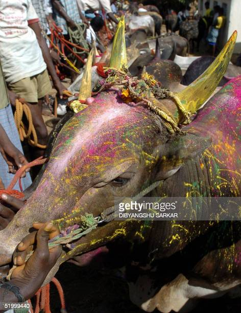 Indian bulls await their turn to take part in a bull taming festival popularly known as 'Jallikattu' in the village of Alanganallur some 500 kms...